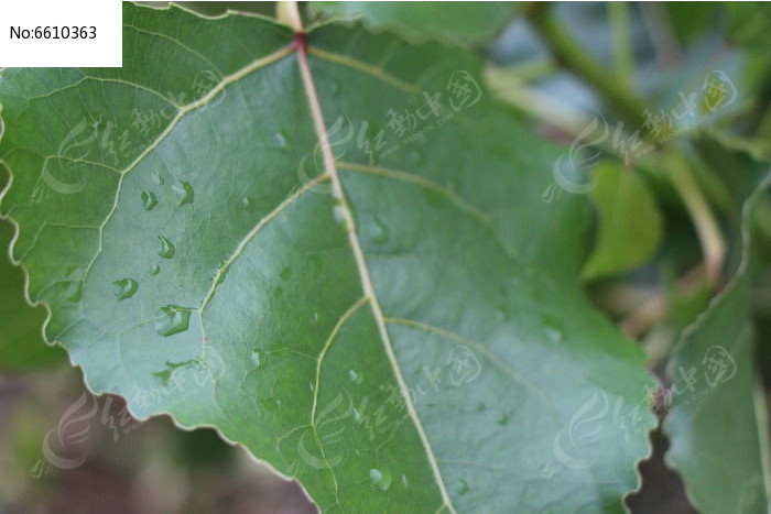 雨后杨树叶子