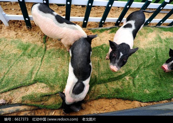 俯拍小香猪图片,高清大图_陆地动物素材