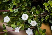 绿叶间的几朵白色小花朵