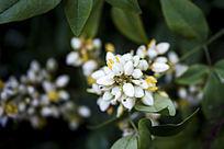 绿叶间的一串白色小花朵