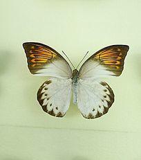 亚洲蝴蝶白翅黄斑粉蝶标本