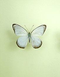 亚洲蝴蝶白粉蝶标本