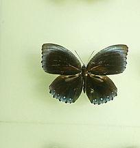 亚洲蝴蝶草青粉蝶标本