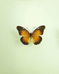 亚洲蝴蝶橙粉蝶标本