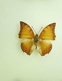 亚洲蝴蝶黄斑粉蝶标本