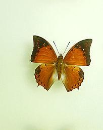 亚洲蝴蝶黄翅橙粉蝶标本