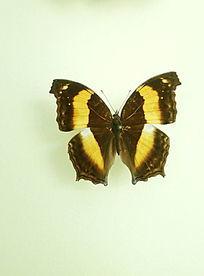 亚洲蝴蝶棕黄圆粉蝶标本