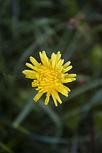 一朵蒲公英的黄色小花