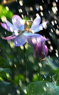 雨滴洒落的荷花