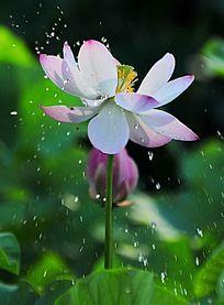 雨中的荷花