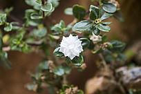 枝头的一朵白色小花朵