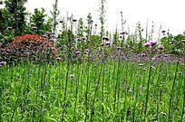 紫色薰衣草花