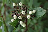 白饭树花果