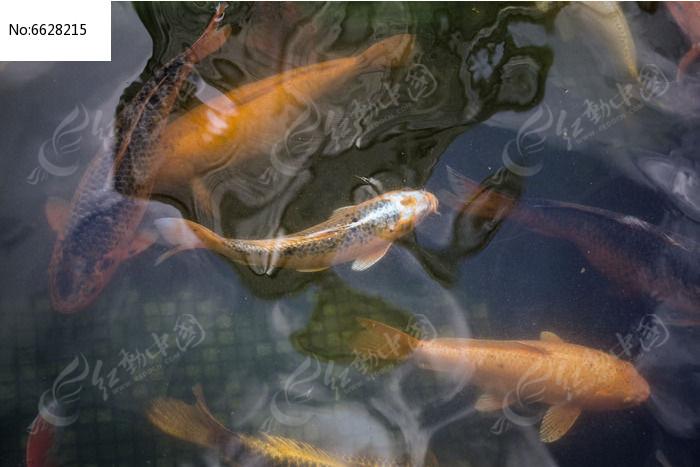 原创摄影图 动物植物 水中动物 池塘里的金色鲤鱼
