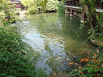池塘里的鱼群