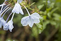 几朵淡蓝色的小花