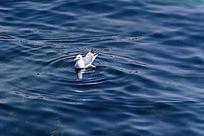 蓝色海面上的海鸥