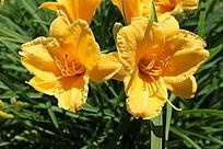 两朵盛开的金娃娃萱草