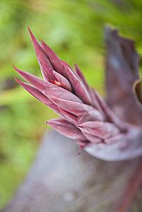 美人蕉的花苞