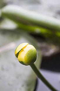 萍蓬草的黄色花苞