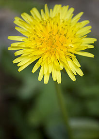 蒲公英的金色小花
