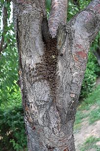 桃树上的蚂蚁窝