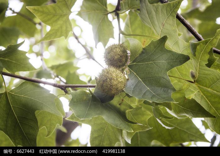 原创摄影图 动物植物 树木枝叶 梧桐树的果实  请您分享: 红动网提供
