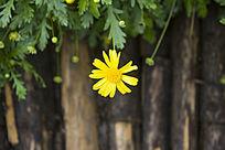 一朵黄色的日光菊