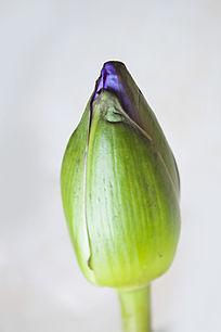 一朵还未开的荷花花苞