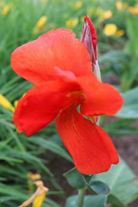 原创摄影图 动物植物 花卉花草 一朵红花