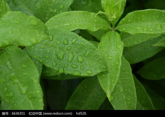 原创摄影图 动物植物 树木枝叶 带有雨水的叶子图片  请您分享: 红动