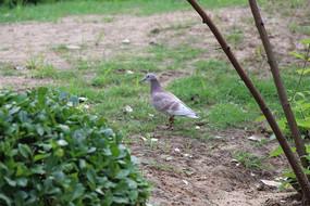独自等待的鸽子