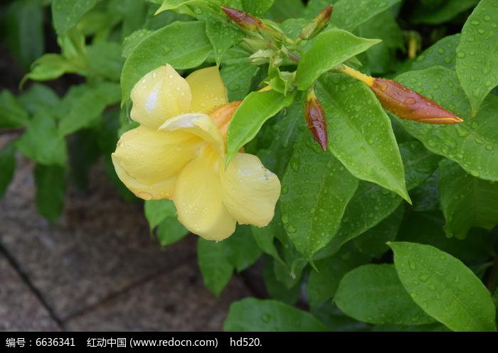 盛开的黄蝉花