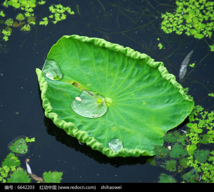 原创摄影图 动物植物 花卉花草 荷叶素材