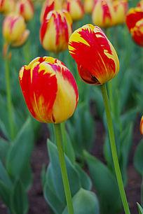 红色加黄色的郁金香