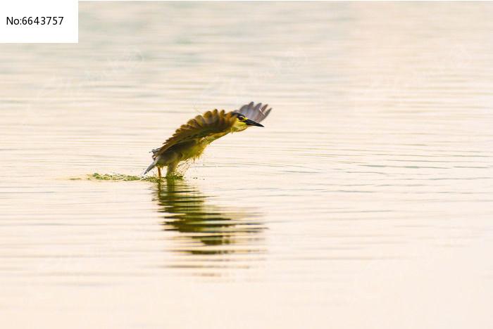湖面起飞的夜鹭图片