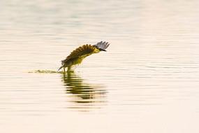 湖面起飞的夜鹭