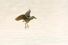 湖面上飞翔的夜鹭