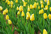 娇艳的黄色郁金香花海