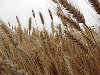 麦田麦地麦子农作物