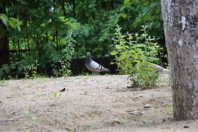 慢慢靠近的鸽子