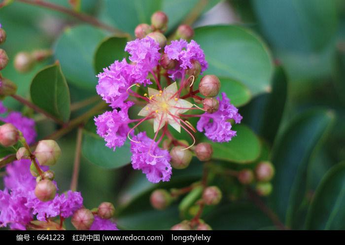 美丽的紫色紫薇花