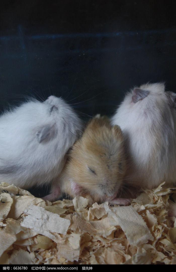三只仓鼠图片,高清大图_陆地动物素材