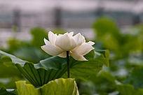盛开的白色重瓣荷花