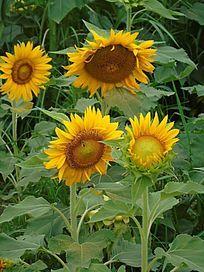 四枝太阳花