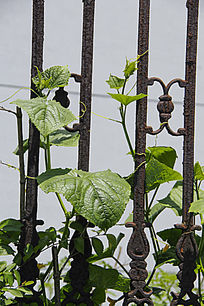 铁艺黄瓜秧苗