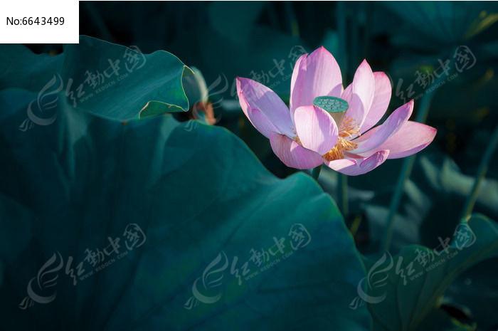 原创摄影图 动物植物 花卉花草 唯美荷花
