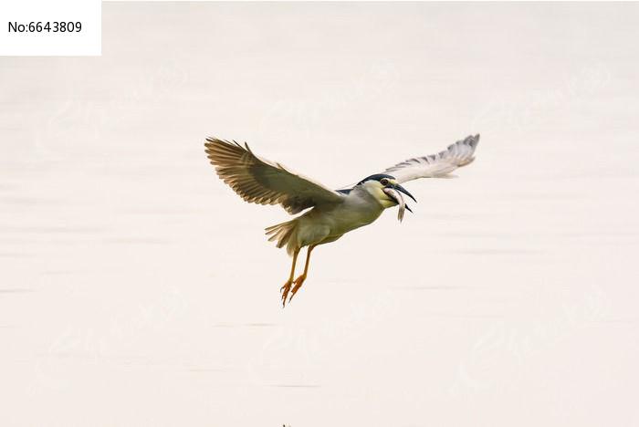衔鱼飞行的夜鹭图片