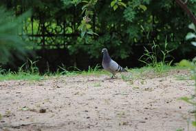 寻找伙伴的鸽子