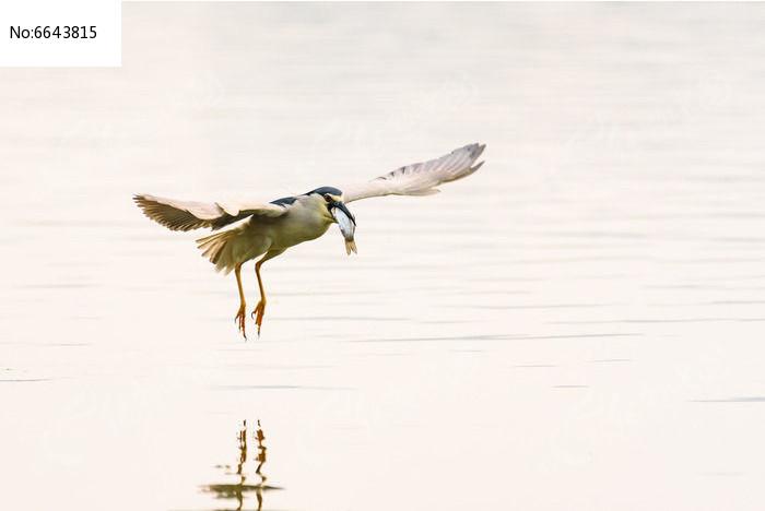 夜鹭衔鱼飞翔图片